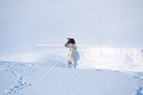 Jack Russell Terrier in snowy field