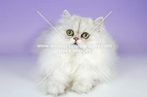 young chinchilla cat lying down