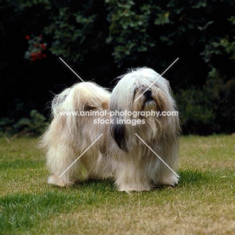 lhasa apso on grass