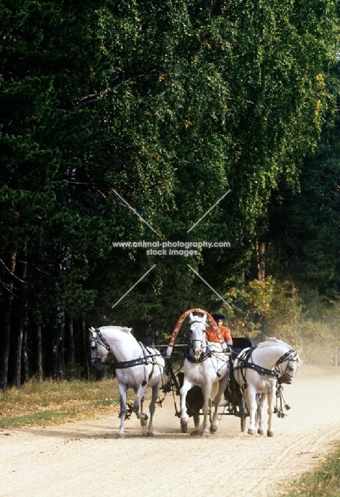 three russian stallions, tersk, orlov, tersk  pulling a troika
