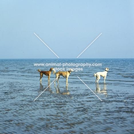 three salukis on a beach