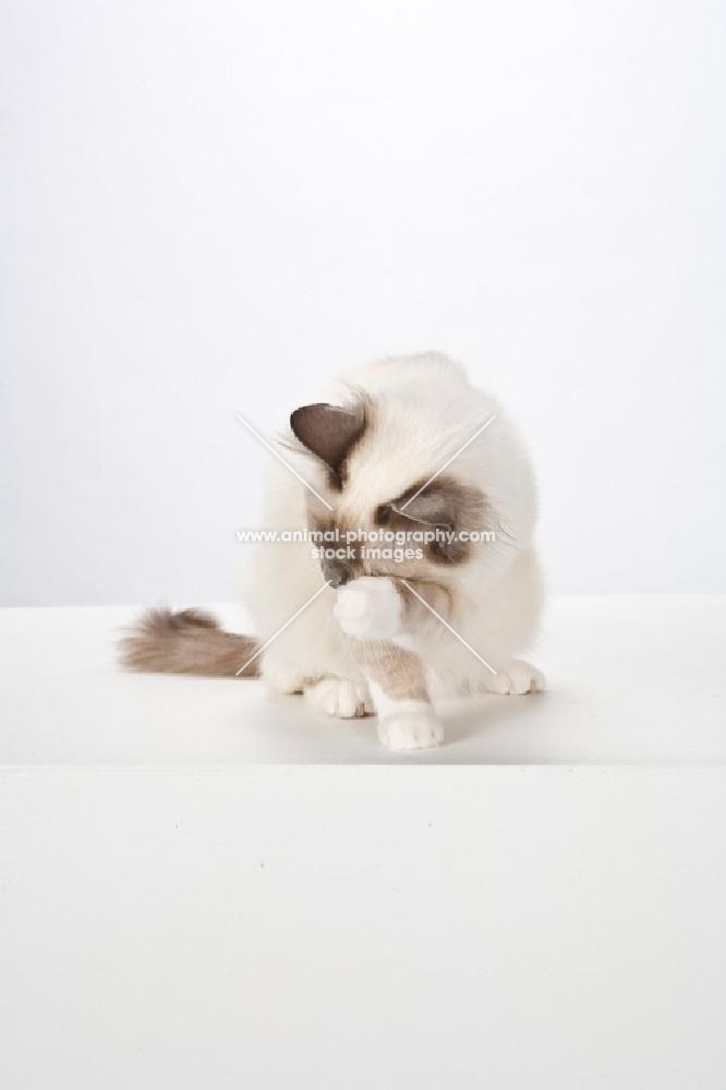 Birman cat, washing