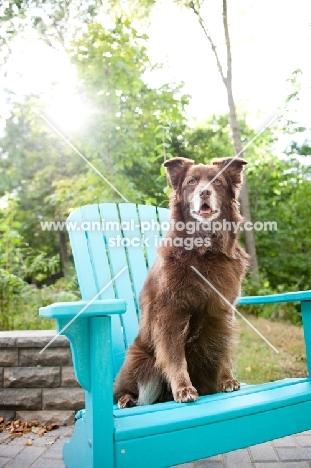Red Australian Shepherd sitting on teal chair outdoors.