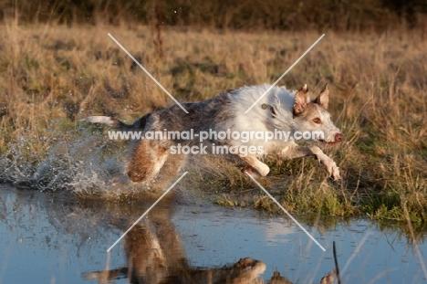 Lurcher in water