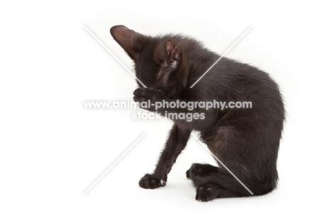 black Peterbald kitten hiding