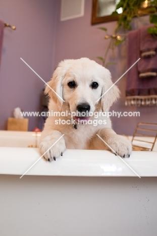 Golden Retriever puppy in bathtub.