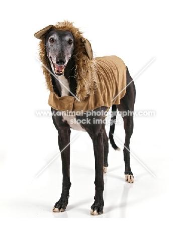 Greyhound in jacket