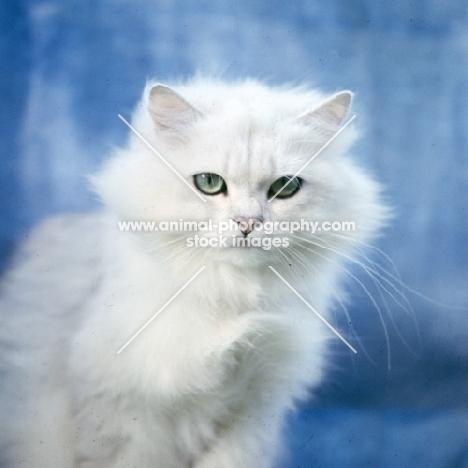 chinchilla cat, not in full coat