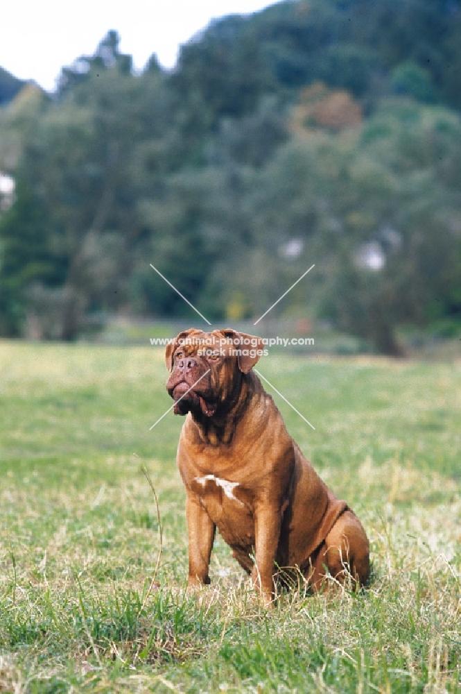 Dogue de Bordeaux sitting in a field