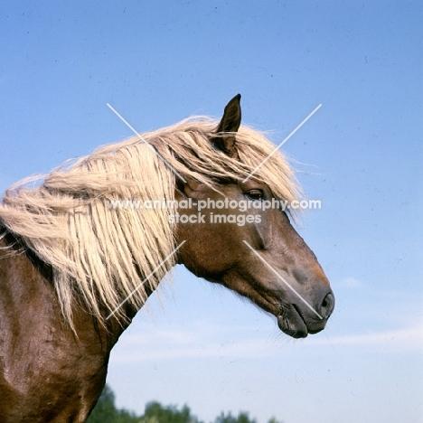 Finnish Horse head and shoulders at Ypäjä