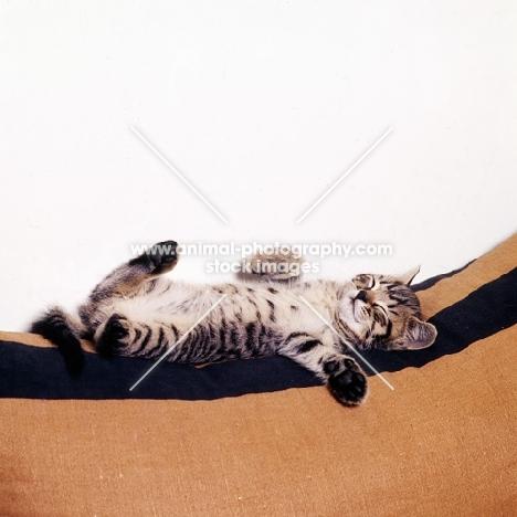 brown tabby shorthair kitten asleep