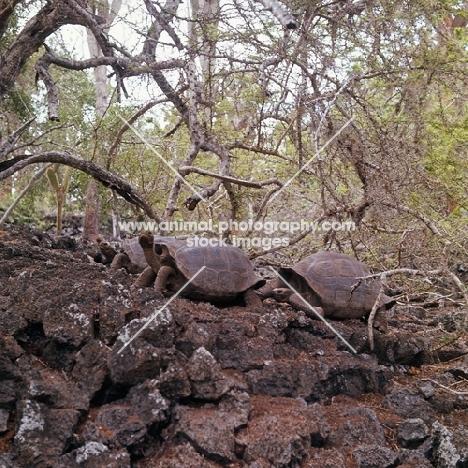 pinta island saddleback tortoise with two galapagos tortoises in enclosure at darwin station, galapagos