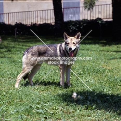 Guzzi Lupo Zwart van Helmond,  saarloos wolfhound looking at camera