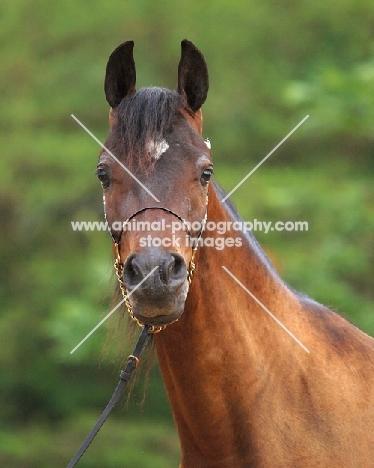Arab (Egyptian) horse looking at camera