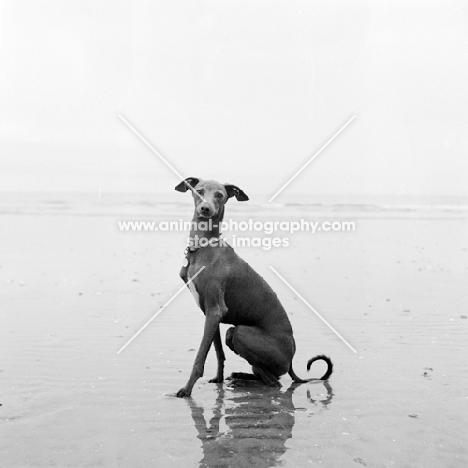 italian greyhound sitting on the beach