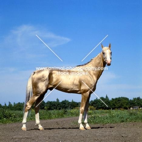 akhal teke, fabulous gold stallion at piatigorsk hippodrome