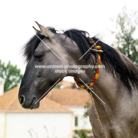 sorraia pony stallion in portugal