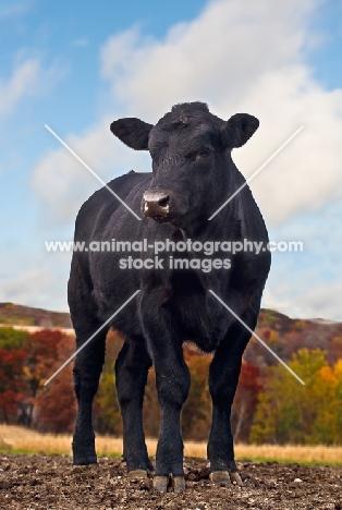black Aberdeen Angus