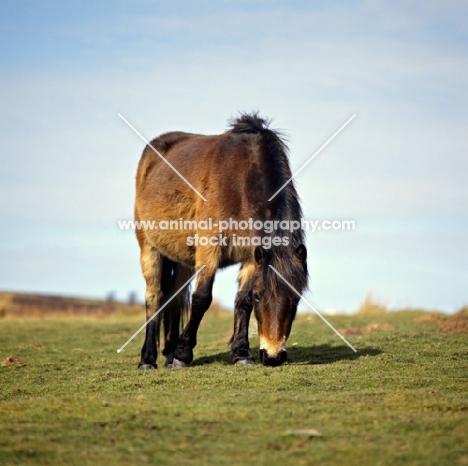 Exmoor pony grazing in winter