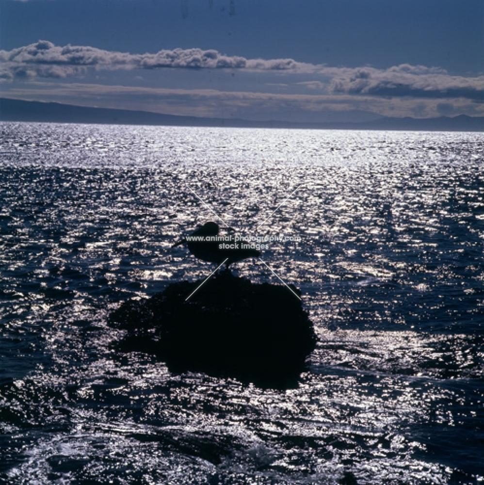 silhouette of brown pelican on rock, james bay, galapagos islands