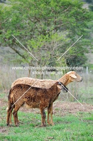 Nguni sheep looking ahead