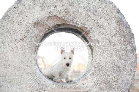 wheaten Scottish Terrier puppy peeking through circular stone sculpture.