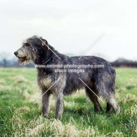 champion irish wolfhound