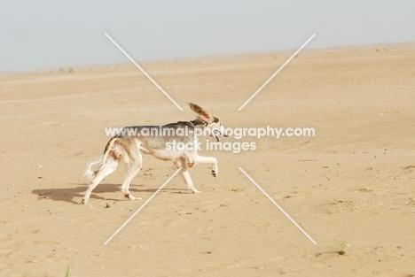 Arabian Saluki in Dubai Desert