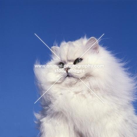 ch bonavia bella maria, chinchilla cat surveying its territory