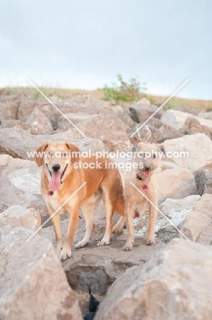two mongrel dogs on rocks near beach