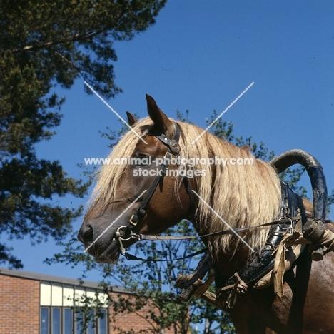 Finnish Horse in harness, head study