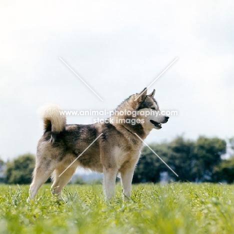 alaskan malamute standing in grass