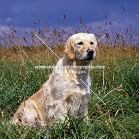 westley julianna (julie), golden retriever sitting in long grass,