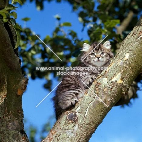 brown tabby long hair kitten up a tree