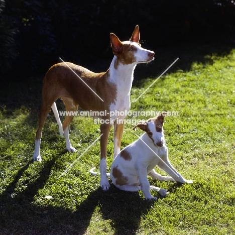 ch paran prima donna, ibizan hound and puppy on grass