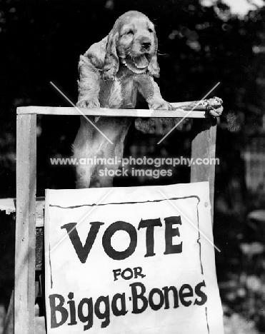English Cocker Spaniel puppy election