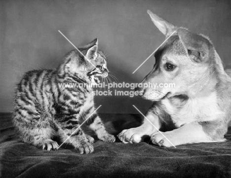 kitten meowing at dog