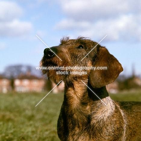 ch gisbourne inca, wire haired dachshund, portrait