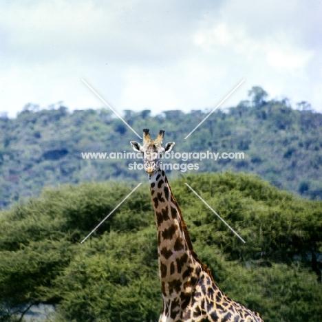oak leaf patterned giraffe in lake manyara np