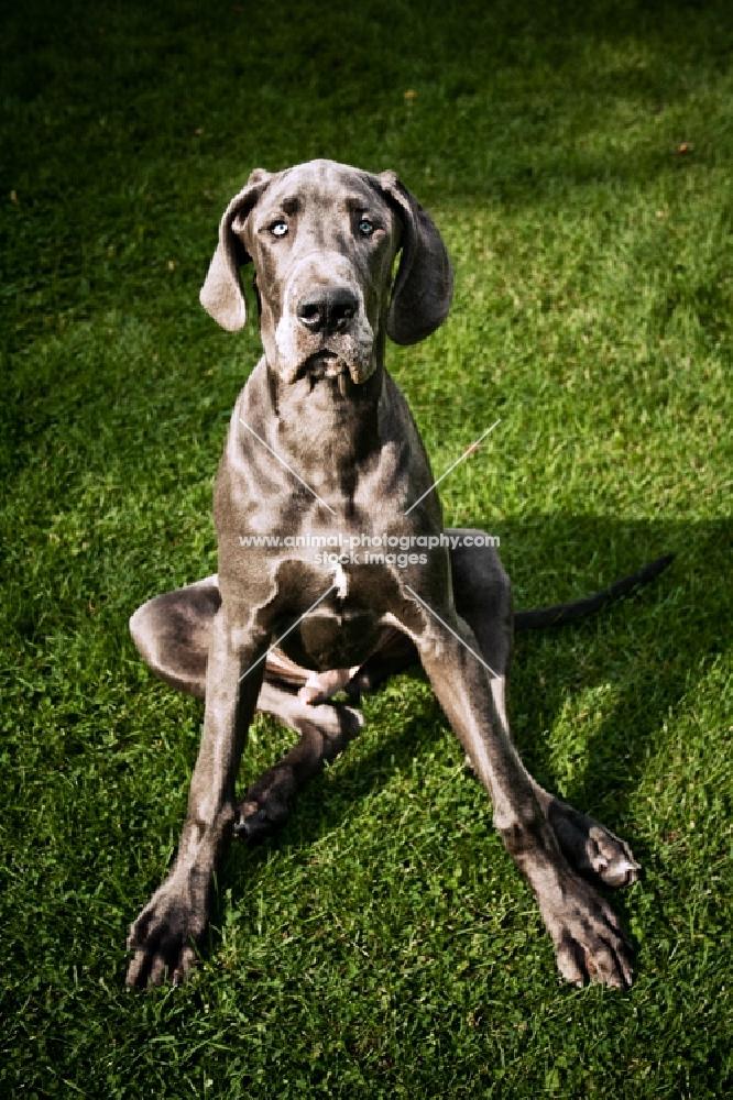 blue great dane sitting in grass