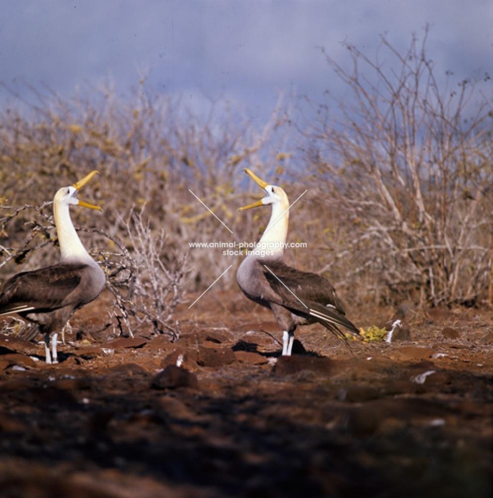two waved albatross in courtship dance star gazing, hood island, galapagos