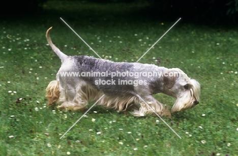 ch bora lovu zdar, cesky terrier searching