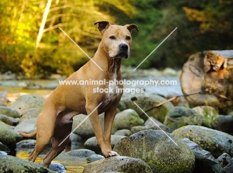 American Pit Bull Terrier on rocks