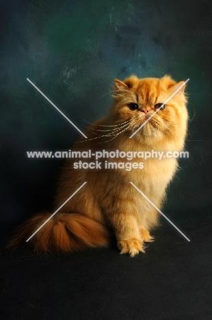 red Persian in studio