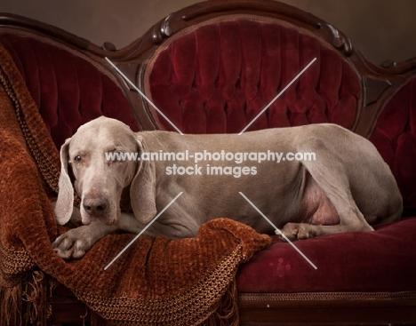 Weimaraner resting on couch
