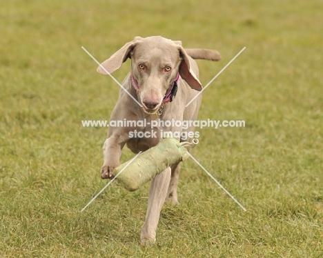 Weimaraner dog running towards camera