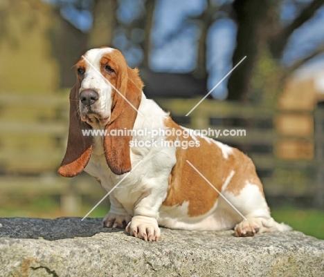Basset Hound sitting on rock