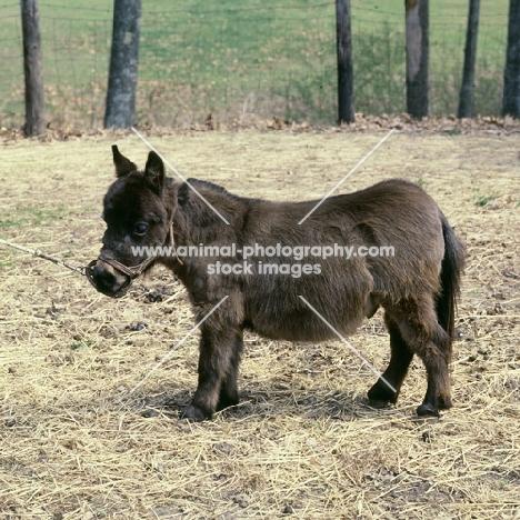 miniature mule in kentucky usa