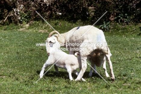 wiltshire horn lamb drinking milk