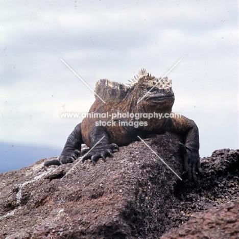 marine iguana on lava rock on isabela island, galapagos islands
